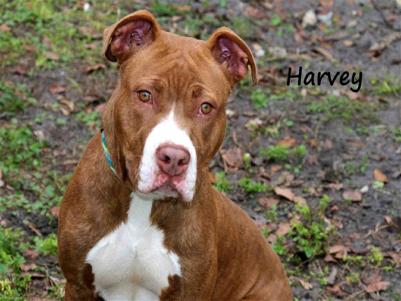 FLORIDA Harvey ID A579395 is an 8mos Am Staff mix in