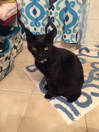 Found Black Cat Black Cat Cats Fleas