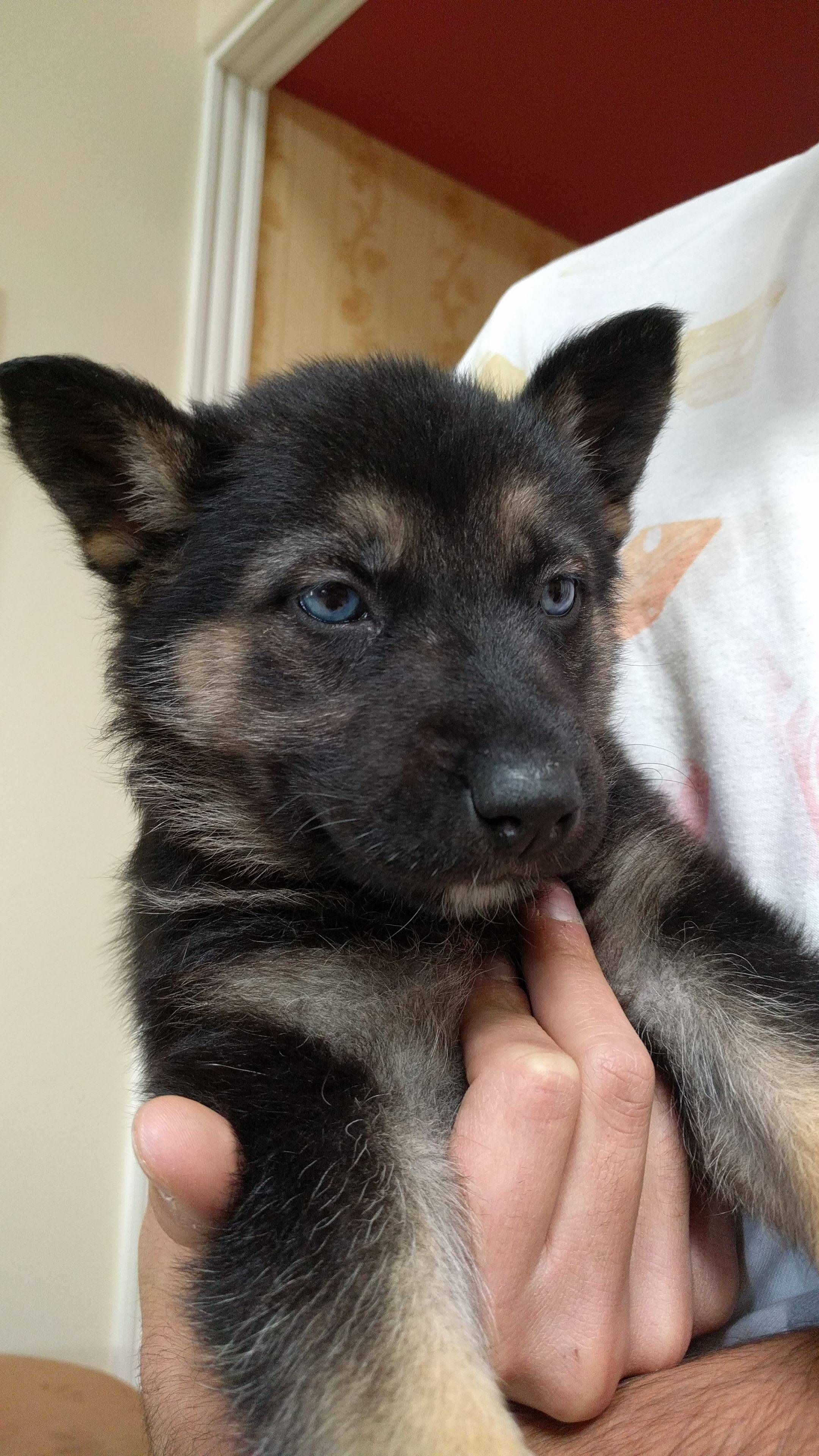 Meet Zara My German Shepherd Husky Mix Http Ift Tt 2lvfmp9