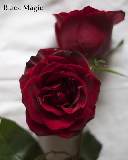 Burgundy Rose Black Magic In 2020 Red Roses Rose Varieties Red And White Roses