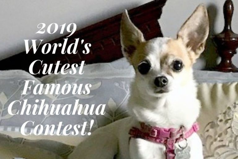 Enter The 2019 Cutests Famous Chihuahua Picture Contest Win Huge