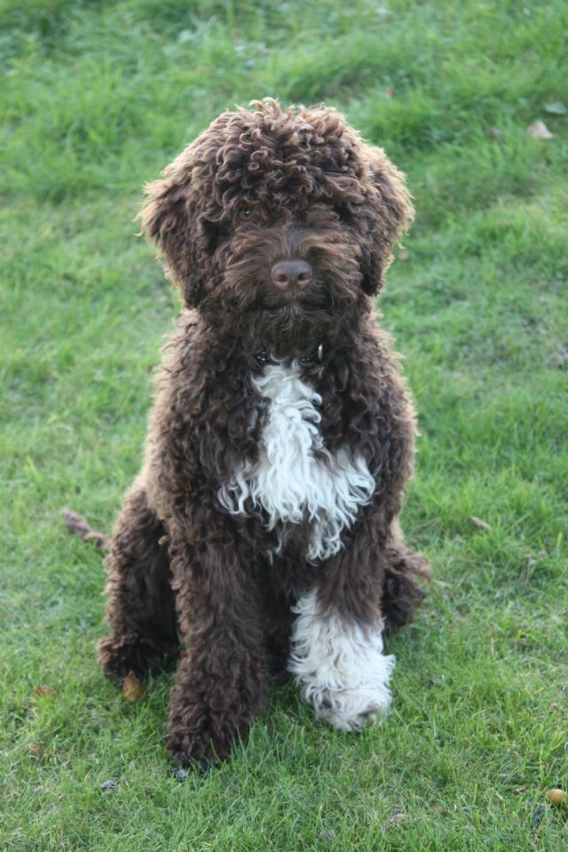 Lagotto Romagnolo Hypoallergenic Dog Breed Portugese Water Dogs Hypoallergenic Dogs