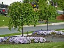 Pink Weeping Cherry Tree Driveway Entrance Landscaping Front Yard Landscaping Landscape Trees