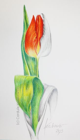 Red tulip pencil and watercolor pencil drawing a project to demonstrate the techniques 15 x 25cm c cordula kerlikowski