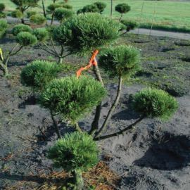 Pinus mugo 'Gnom'  Acheter Vos Arbres chez le spécialiste du Jardin Zen français . ART Garden www.art-garden.fr