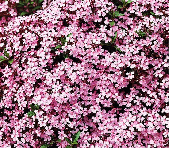 Rotes Teppich Seifenkraut Dehner Garten Center Seifenkraut Rosa Garten Steingarten Pflanzen