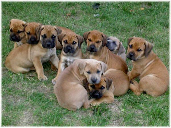 Most Inspiring Boerboel Black Adorable Dog - b22a3db8fcfdd66c603a43a460c329a5  Pictures_409958  .jpg