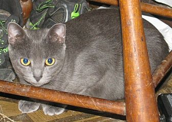 Adopt A Pet Petsmart Charities Born 1 1 20 Russian Blue Female Elsa Prefers Quiet Home Fee Is Donation Greenbelt In 2020 Russian Blue Pets Pet Adoption