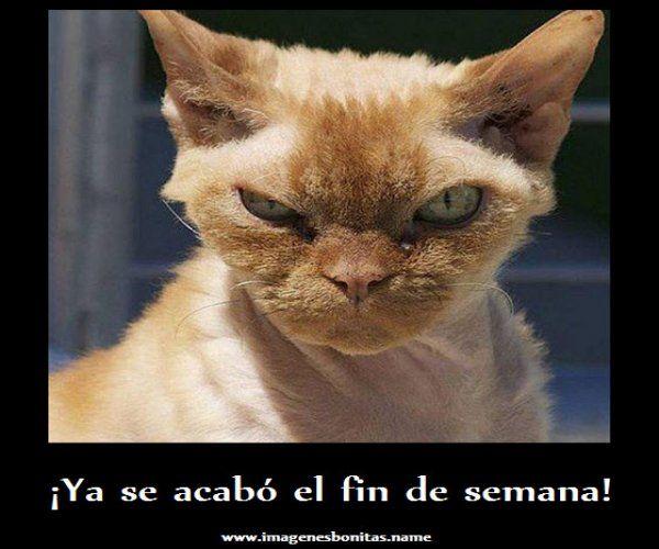 Frases Chistosas Del Fin De Semana Google Search Animals Funny Quotes Cats