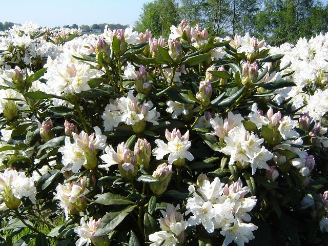 rhododendron cunningham white tuin en buitenleven. Black Bedroom Furniture Sets. Home Design Ideas