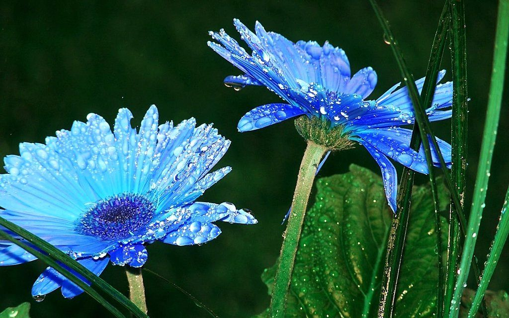 Blue Daisy Flowers images | Daisy: Flower | Pinterest ...