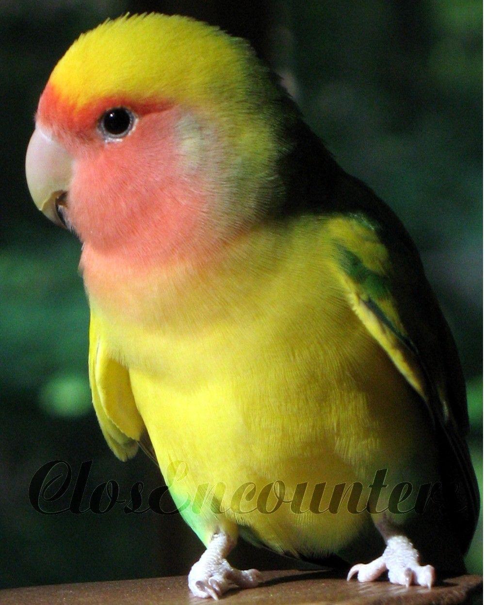 LOVEBIRD - Little Tough Guy - Bird Portrait Photography Print - Home ...