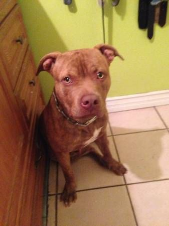 Free 11 Month Old Red Nose Pitbull Has All Shots Only Needs