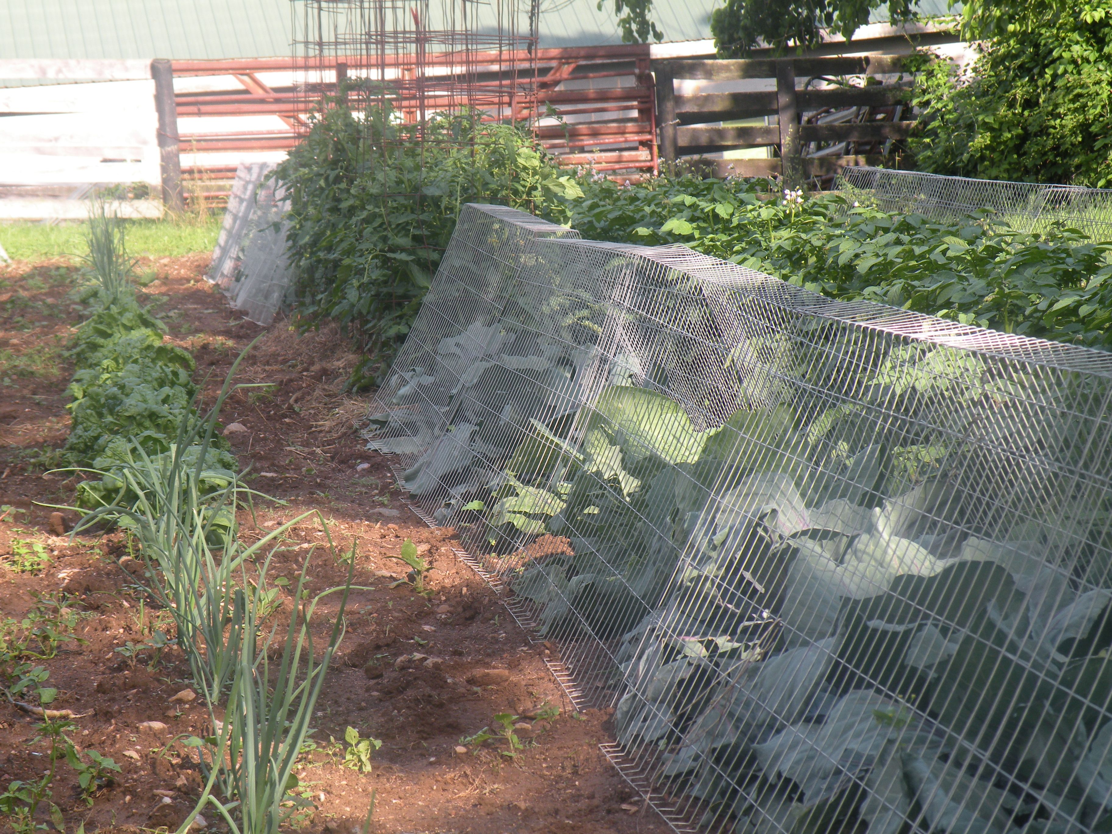 Our Garden Last Year Protecting Our Vegetable Plants With Garden