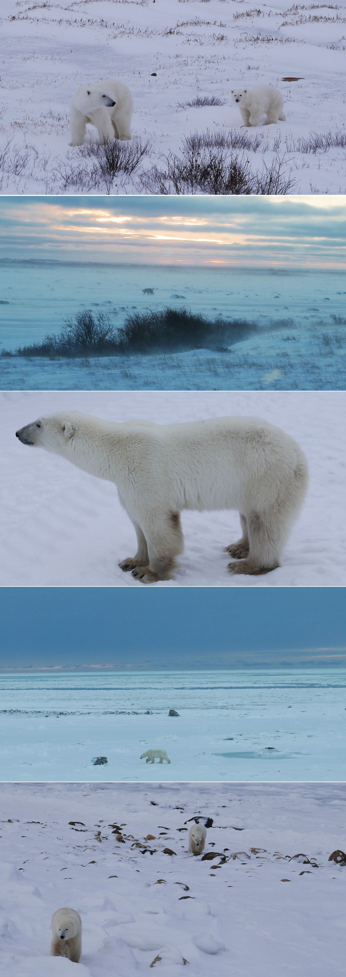 Climate Change Makes Polar Bears Work Harder to Survive