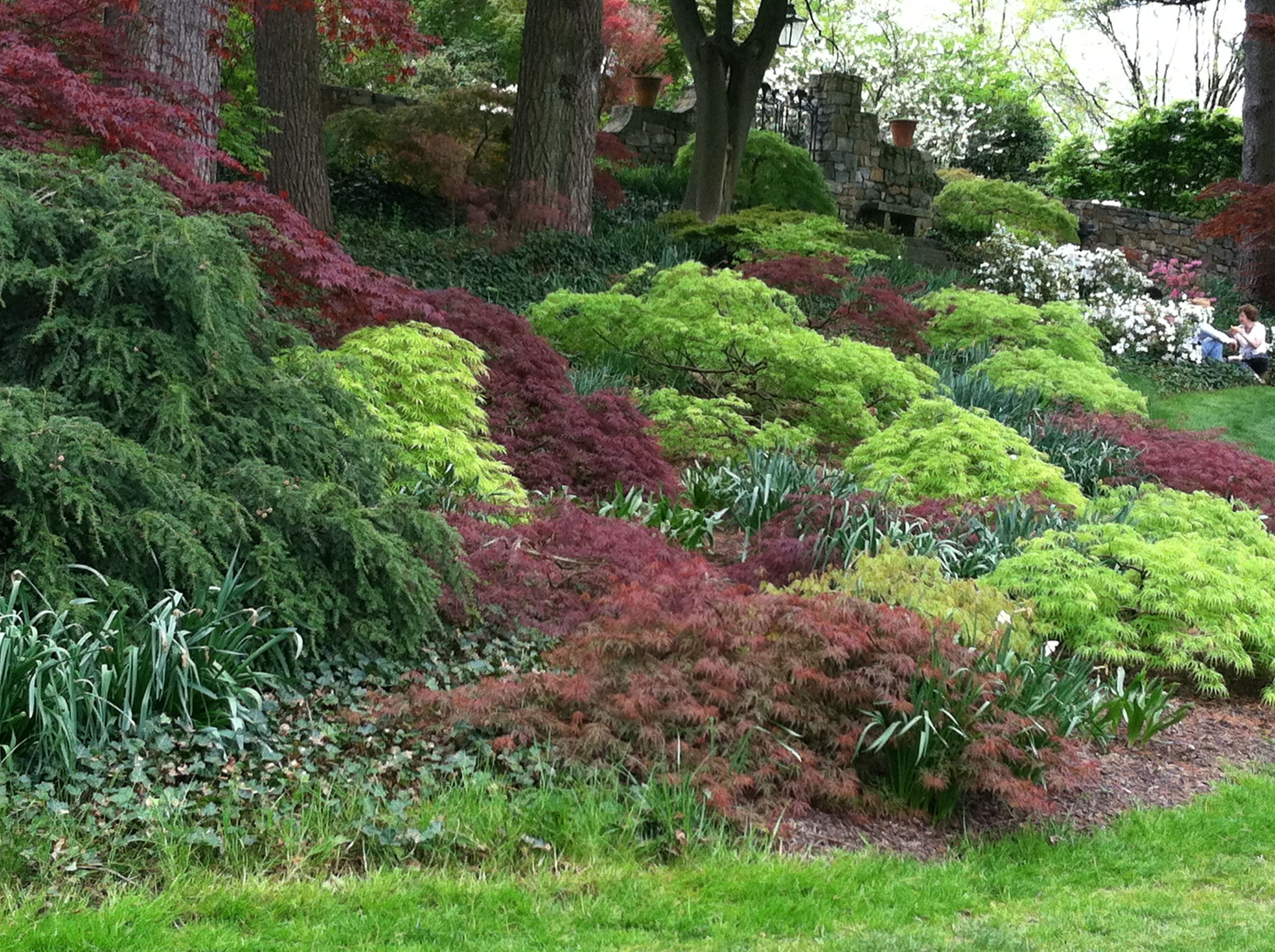 Ground cover of Japanese Maples   Beautiful gardens ...