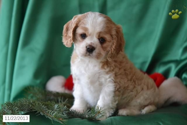 Lily Cavalier King Charles Spaniel Puppy For Sale In Millersburg Spaniel Puppies For Sale King Charles Cavalier Spaniel Puppy Cavalier King Charles Spaniel