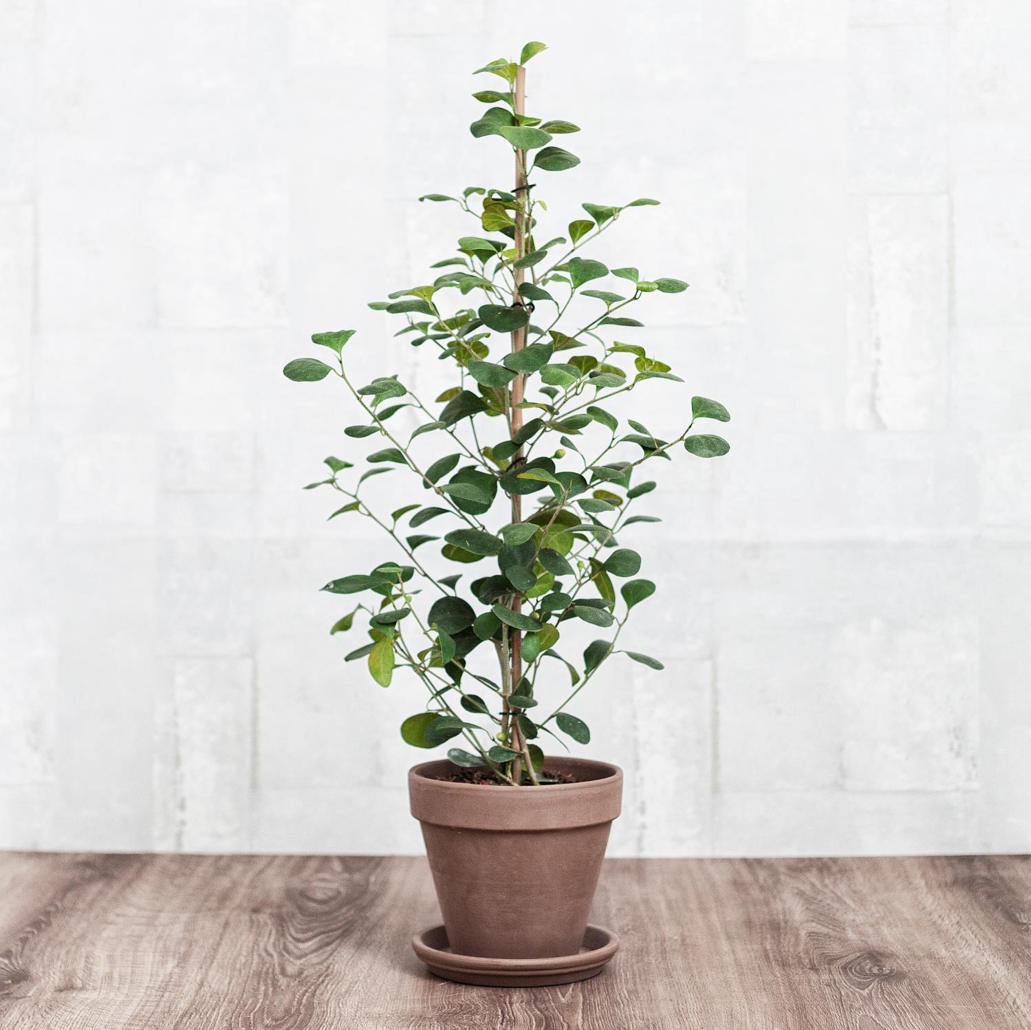 Grünpflanzen Green Plants Zimmerpflanzen: Zimmerpflanzen, Dekoration