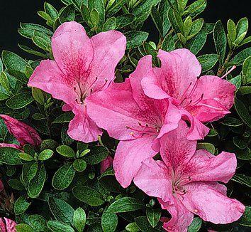 Pin By Felia On Bunga 1 Azaleas Rhododendron Plants