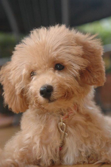 Cute Coffee Poodle Puppy Pictures Psy