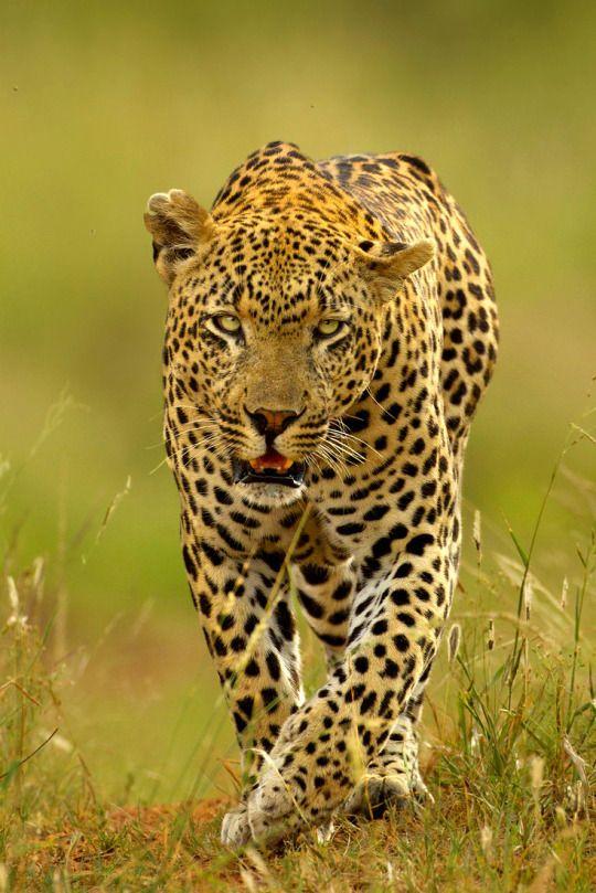The Airstrip Male - Leopard of Mala Mala  by Hennie van Heerden