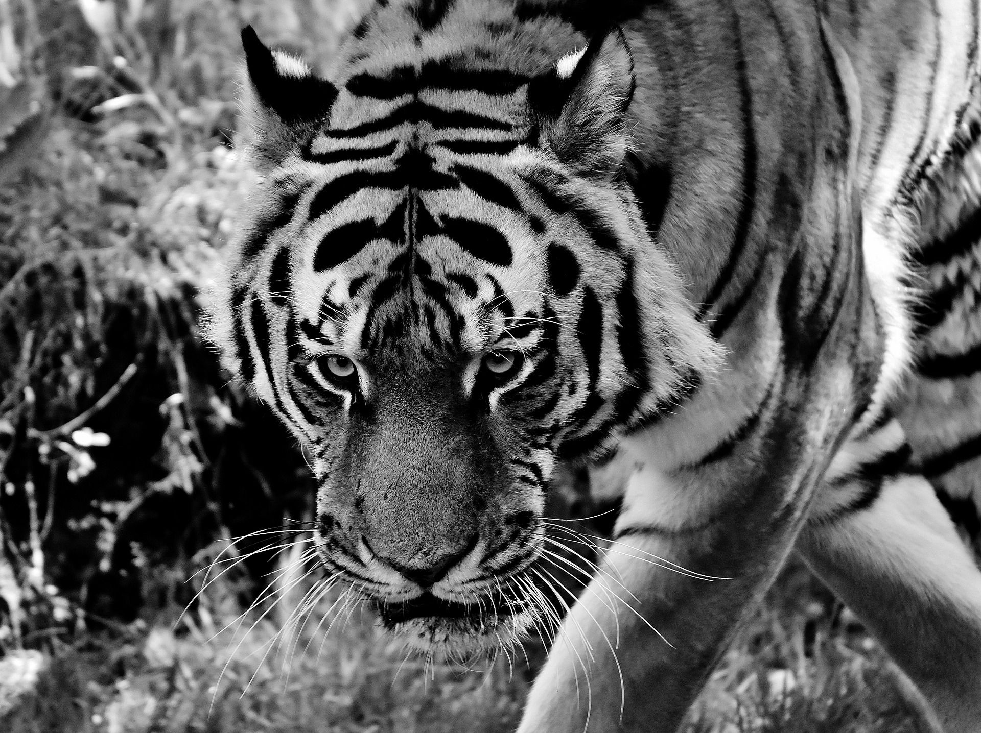 Pin by oncode on Free stock Images Tiger pictures