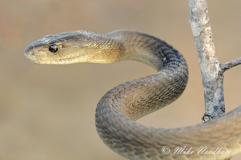 Related Image Black Mamba Beautiful Snakes Snake Venom