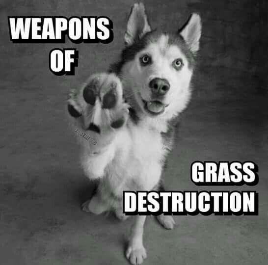 Grass Destruction Dogs Siberian Husky Husky Dogs