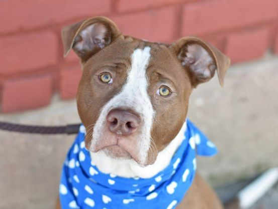 Brooklyn Center  ALBUCA - A1025432 **SAFER: AVERAGE HOME**  MALE, BROWN / WHITE, PIT BULL MIX, 1 yr STRAY - STRAY WAIT, NO HOLD Reason STRAY Intake condition UNSPECIFIE Intake Date 01/14/2015,  Main Thread: https://www.facebook.com/photo.php?fbid=946448682034678