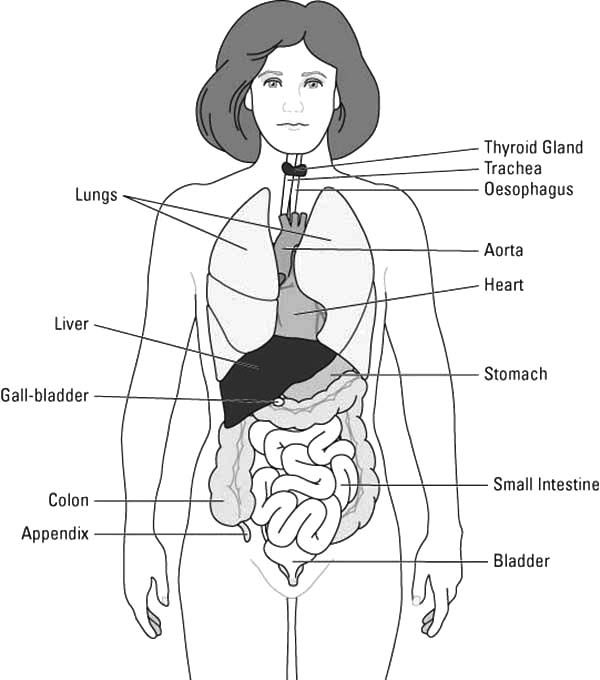 Human Body Whole Human Body Diagram Coloring Pages Human Body Diagram Body Organs Diagram Body Diagram