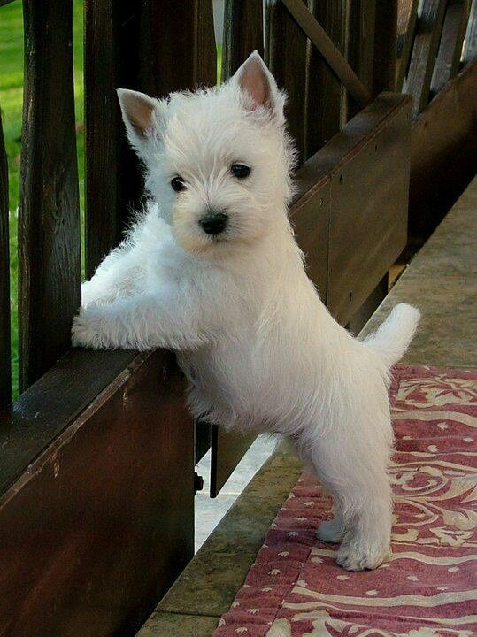 West Highland White Terrier - Westie Puppies for Sale from ...