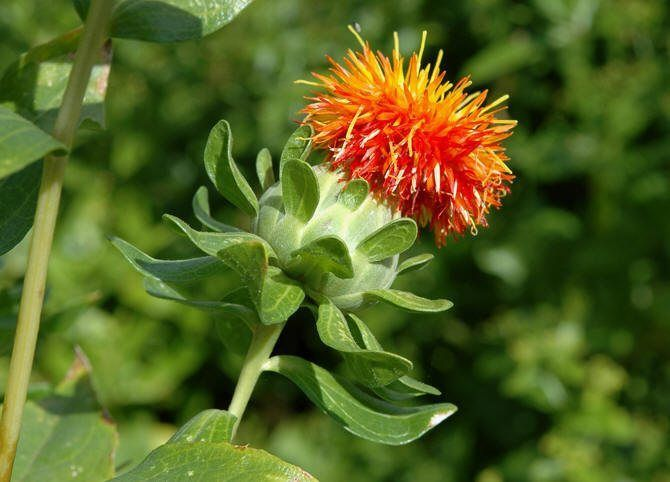 Growth Enrichment Of Carthamus Tinctorius L And Reduction In Dosage Of Chemical Fertilizers With Application Of Plant Growth Promoting Rhizobacteria Ijaar Plant Growth Plant Science Plants
