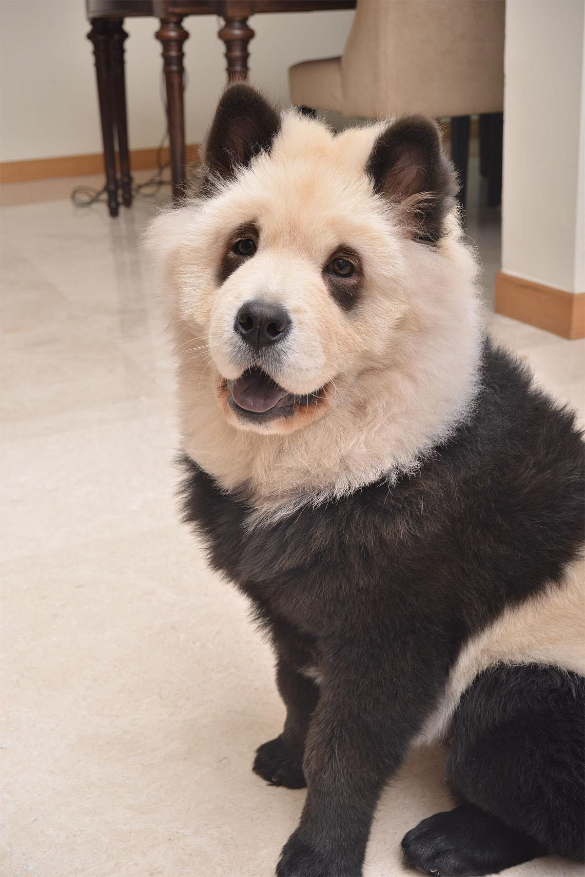 Photos Chow Chow Pups Bear Uncanny Resemblance To Panda Breed