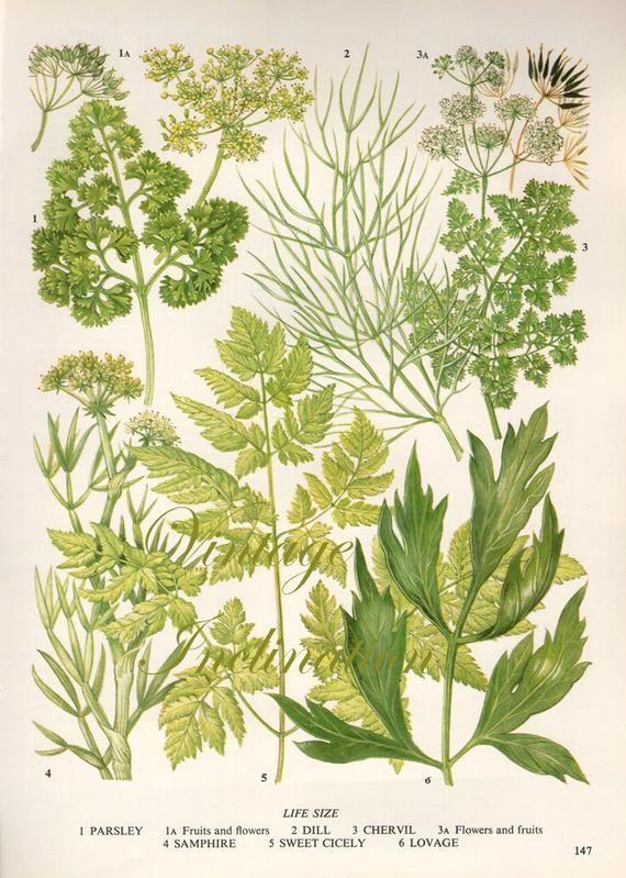 HERBS Vintage Botanical Print Antique, plant print 147 botanical print,  bookplate art print, herb pl