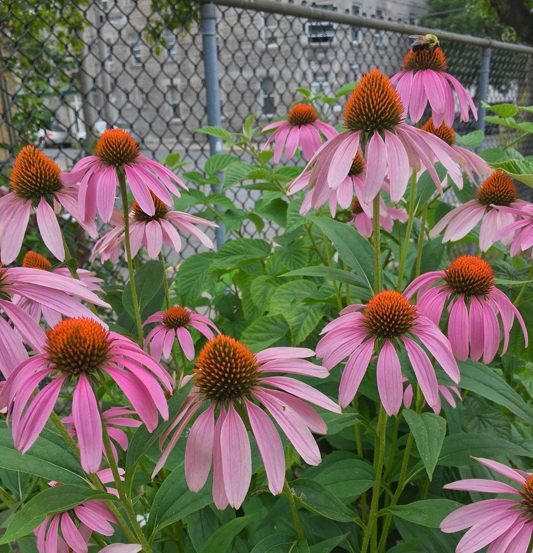 Coneflower Contrasts Echinacea Coneflower Bee Pink Garden Communitygarden Garten Jardin Mtl Montreal Mtlblogger Sthenri Canada Garten Pink