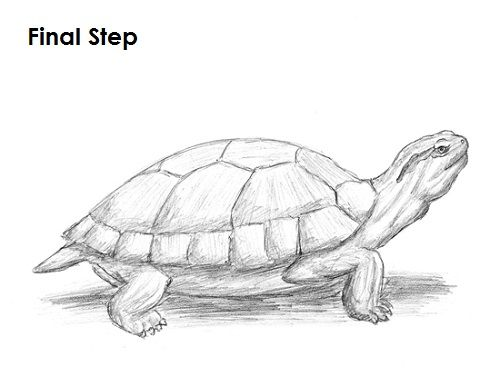 How to Draw a Turtle Red Eared Slider Sketches Pinterest