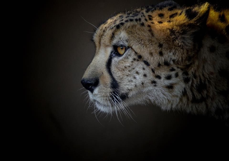 Cheetahs can accelerate to freeway speeds in just a few strides. (pic by Scott Pollard)