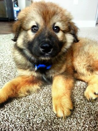 Golden Retriever German Shepherd Mix Golden Retriever German