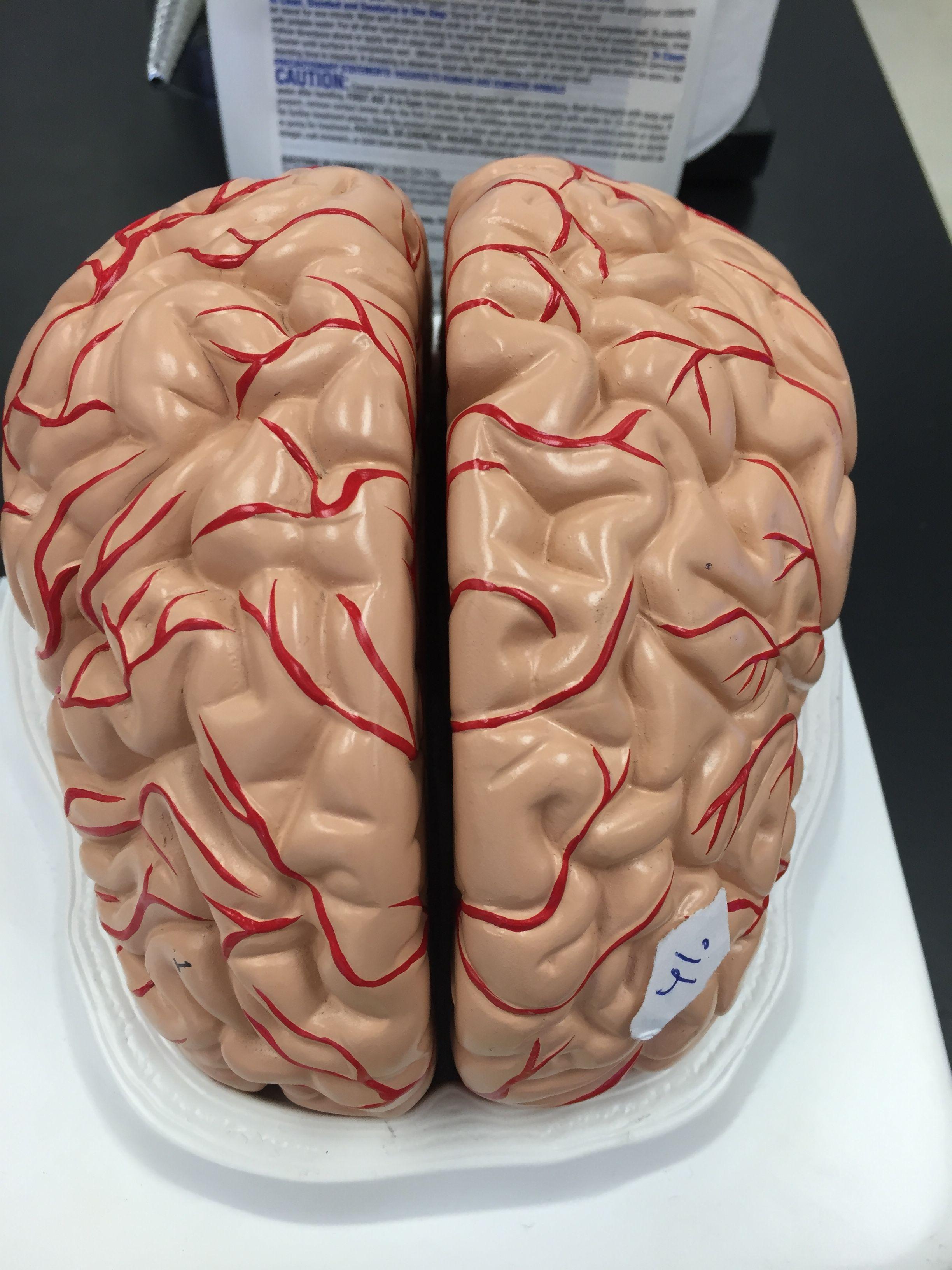 Frontal lobe of brain anatomy | Anatomy & Physiology | Pinterest ...