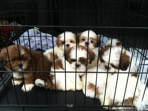 Gorgeous Akc Shih Tzu Puppies Puppies Dogs Shih Tzu Shitzu