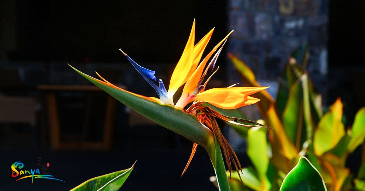 The Bird Of Paradise Flower Meaning Includes Joy And Paradise As It Is The Quintessential Tropical F Birds Of Paradise Flower Flower Meanings Tropical Flowers