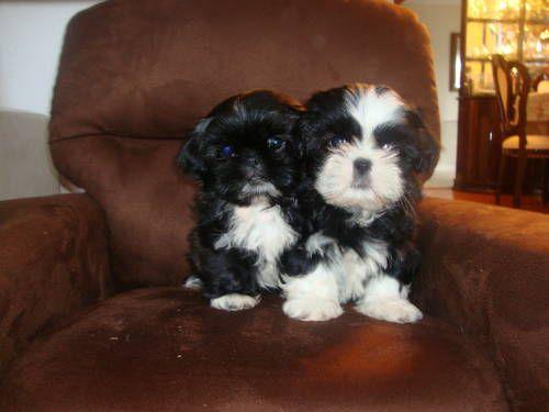 Shih Tzu Houston Cute Dogs Shih Tzu Puppy Shih Tzu