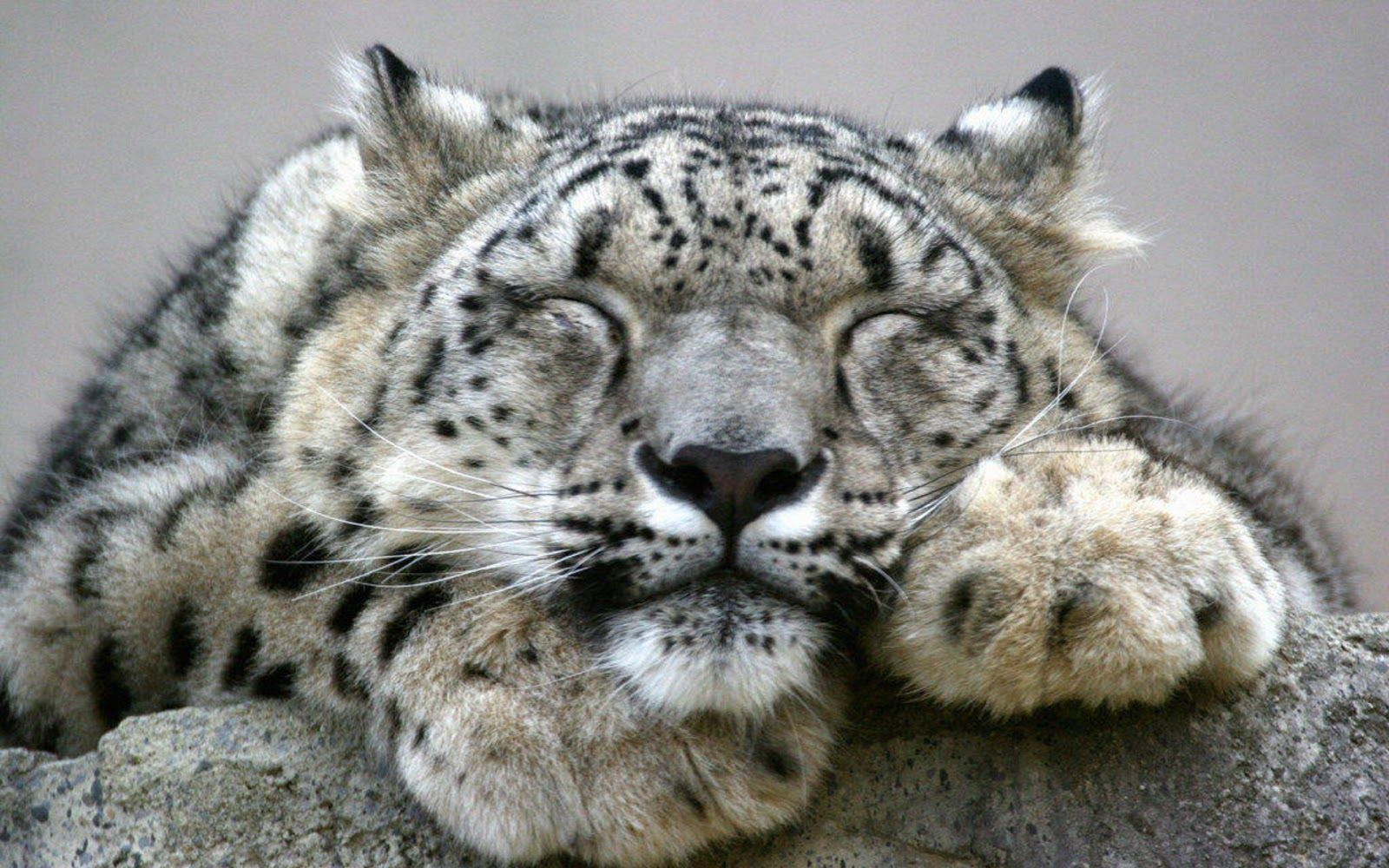 Round 2 Monkey Vs Snow Leopard 667 Dark Avenue Answering The Snow Leopard Snow Leopard Wallpaper Pets Cats