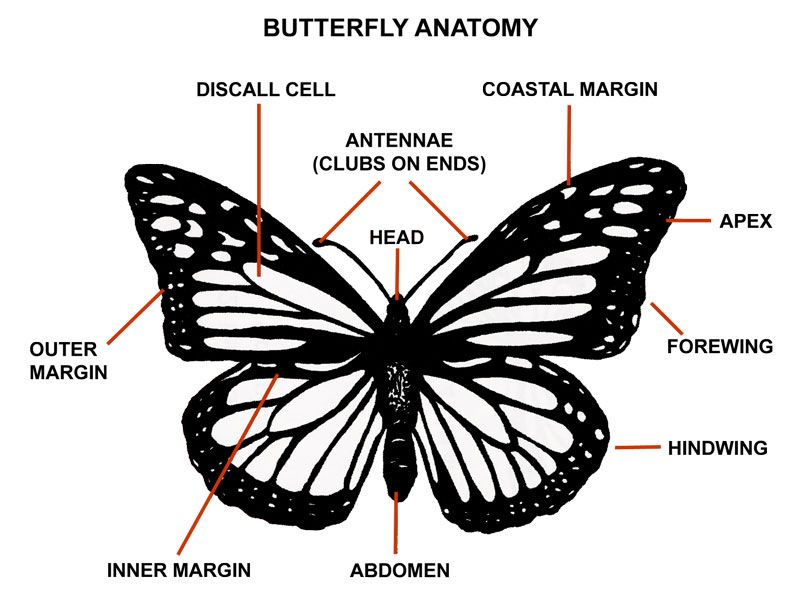 graphic displaying the anatomy of a butterfly with the major parts labeled