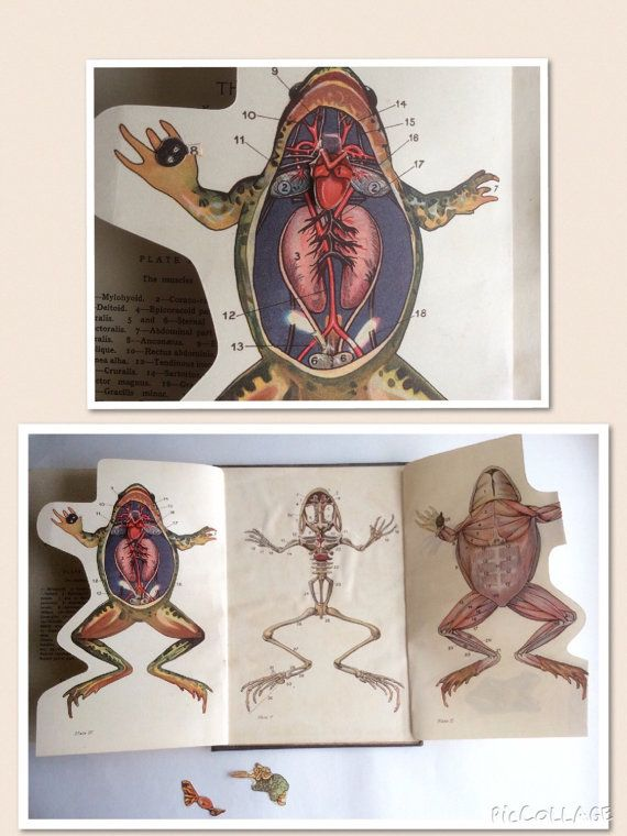 Vintage 1920s Veterinary Lab FROG Dissection BIOLOGY Fold Out ...