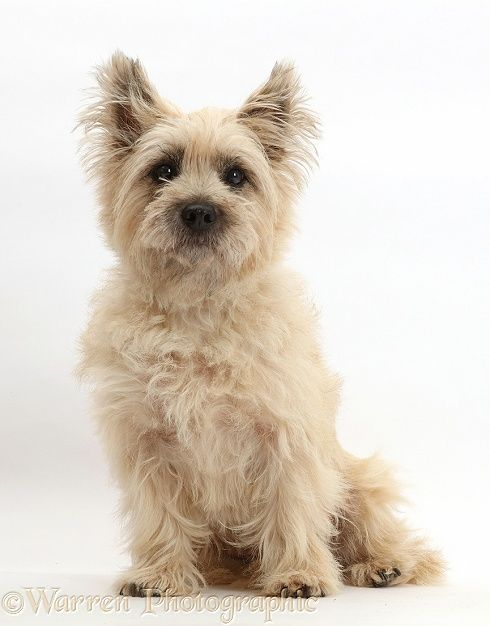 Cairn Terrier Dog For Adoption In Seattle Wa Usa Adn 1072194 On