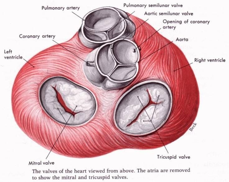 Heart valves   Nursing   Pinterest   Heart valves, Medical and Medicine