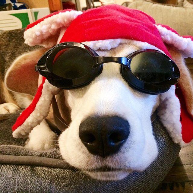My Real Life Snoopy Beagle Mini Beagle Furry Friend