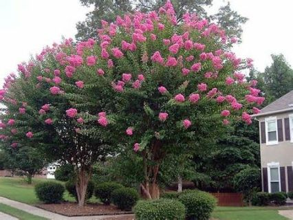 Crepe myrtle pruning step by step myrtle tree plants and gardens sioux is a medium size tree from our national arboretum breeding station with bright pink flower clusters often used to line driveways or back fence lines mightylinksfo