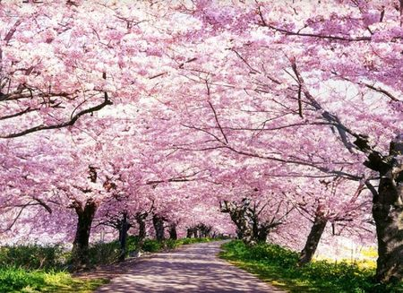 Cherry Blossoms And Lanterns Blossom Trees Cherry Blossom Tree Lanterns